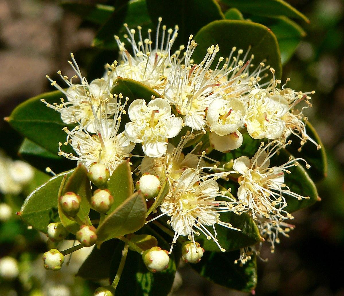 Amomyrtus meli  Wikipedia la enciclopedia libre