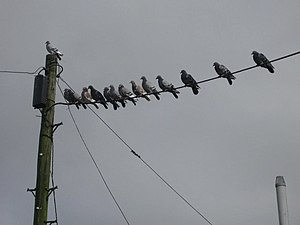 English: Birds on a Wire These pigeons take a ...