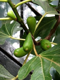 Fig Tree (Ficus Carica) - detail - geograph.or...
