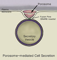 cell structure and function diagram chamberlain garage door wiring secretion - wikipedia