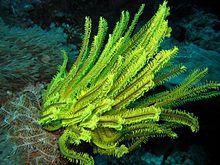 Lili laut  Wikipedia bahasa Indonesia ensiklopedia bebas