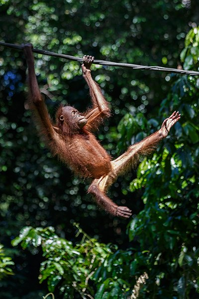 File:Sandakan Sabah Sepilok-Orangutan-Rehabilitation-Centre-02.jpg