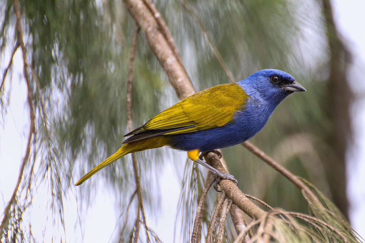 Bluecapped tanager  Wikipedia