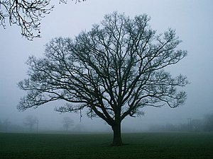 English: Tree in winter. Part of a sequence of...
