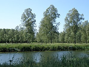 A stand of Willow trees near Barnwell Viewed f...