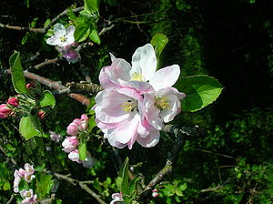 Apple tree in full blossom, North Ayrshire, Sc...