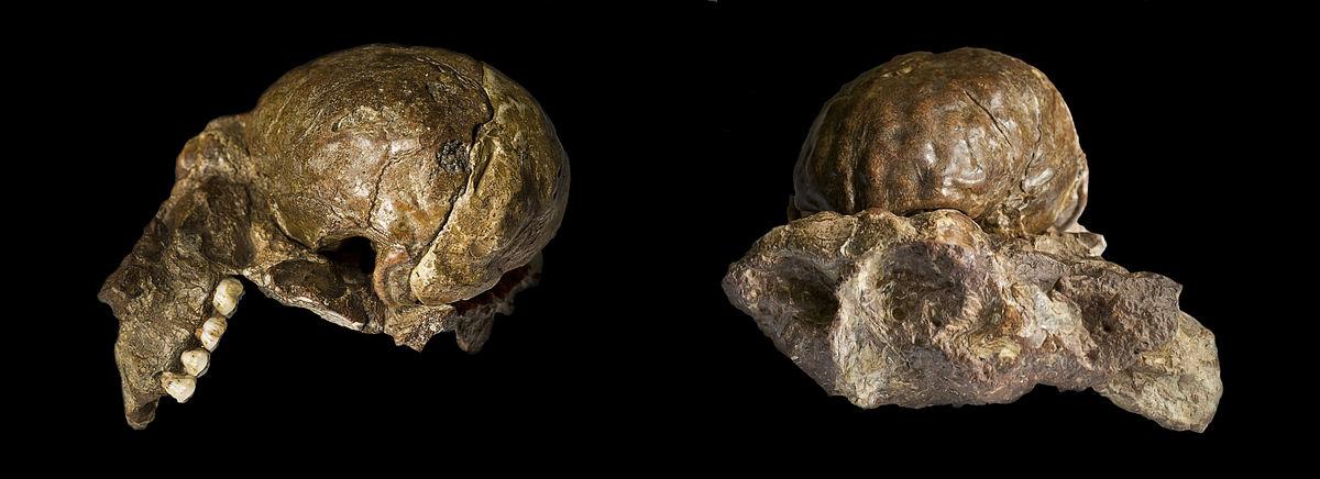 Australopithecus Africanus Simple English Wikipedia The