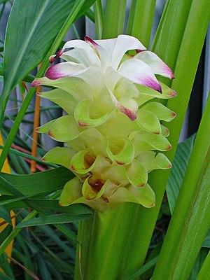 Curcuma longa, Zingiberaceae, Turmeric, Indian...