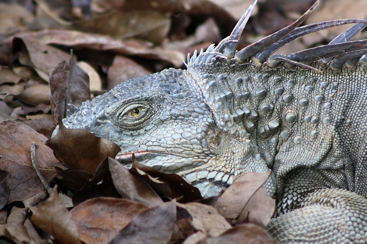 Iguana iguana - Wikimedia Commons