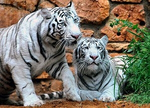 English: A couple of White Bengal Tigers at th...