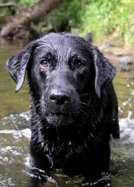 A black Labrador Retriever named Cooper.