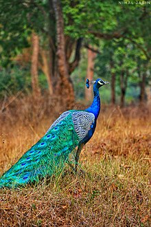 peafowl wikipedia