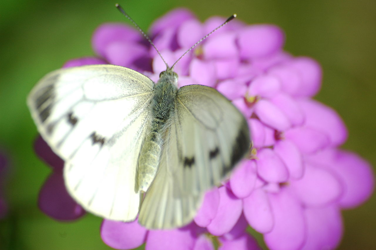 File20090628 10 Cabbage white butterfly Groer
