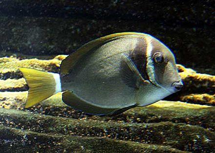 白頰刺尾魚 - Wikiwand