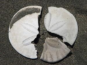 Broken sanddollar pieces