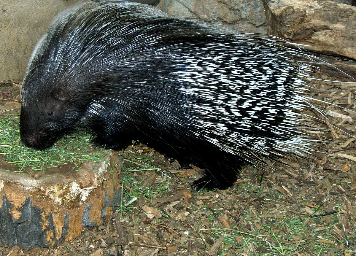 Exotic Animal Wallpaper Porcupine Wiktionary