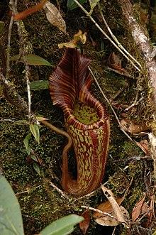 Nepenthes mollis  Wikipedia
