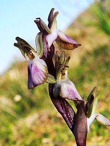 Orchidee selvatiche in Italia  Wikipedia