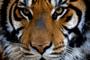 Panthera tigris -Castellar Zoo, Spain-8a.png