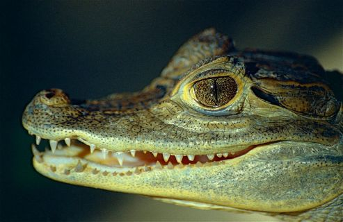 Spectacled Caiman Crocodile