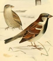 A monograph of the weaver-birds, Ploceidae, and arboreal and terrestrial finches, Fringillidae (1888) (14747374091)