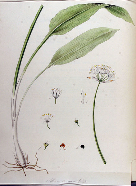 File:Allium ursinum — Flora Batava — Volume v11.jpg