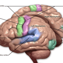 Human Brain Diagram Limbic System Ford Wiring For Radio Primary Somatosensory Cortex - Wikipedia