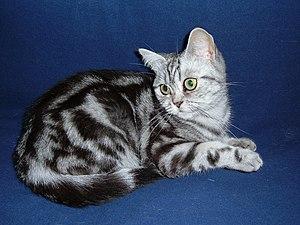 English: British Shorthair, Classic Tabby