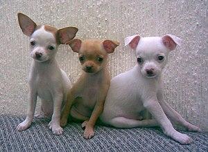 English: Chihuahua puppies