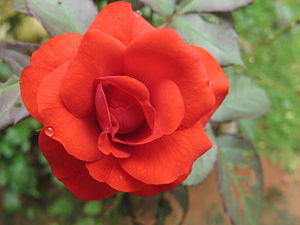 മലയാളം: Red rose