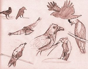 crows sketchs