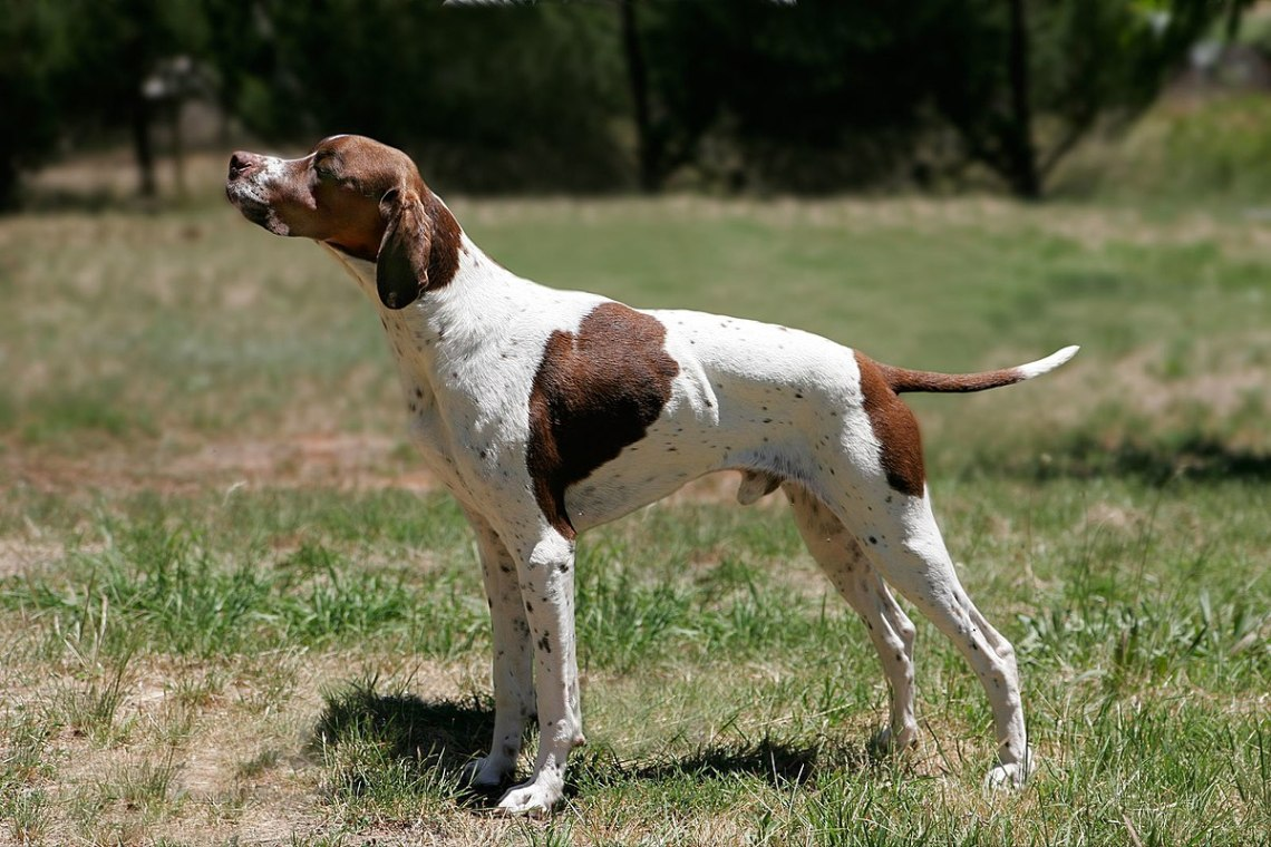 1200px English pointer Pitbull Dog Types