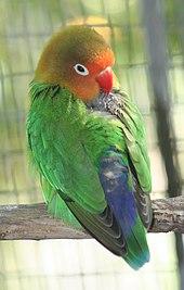 fischer s lovebird wikipedia