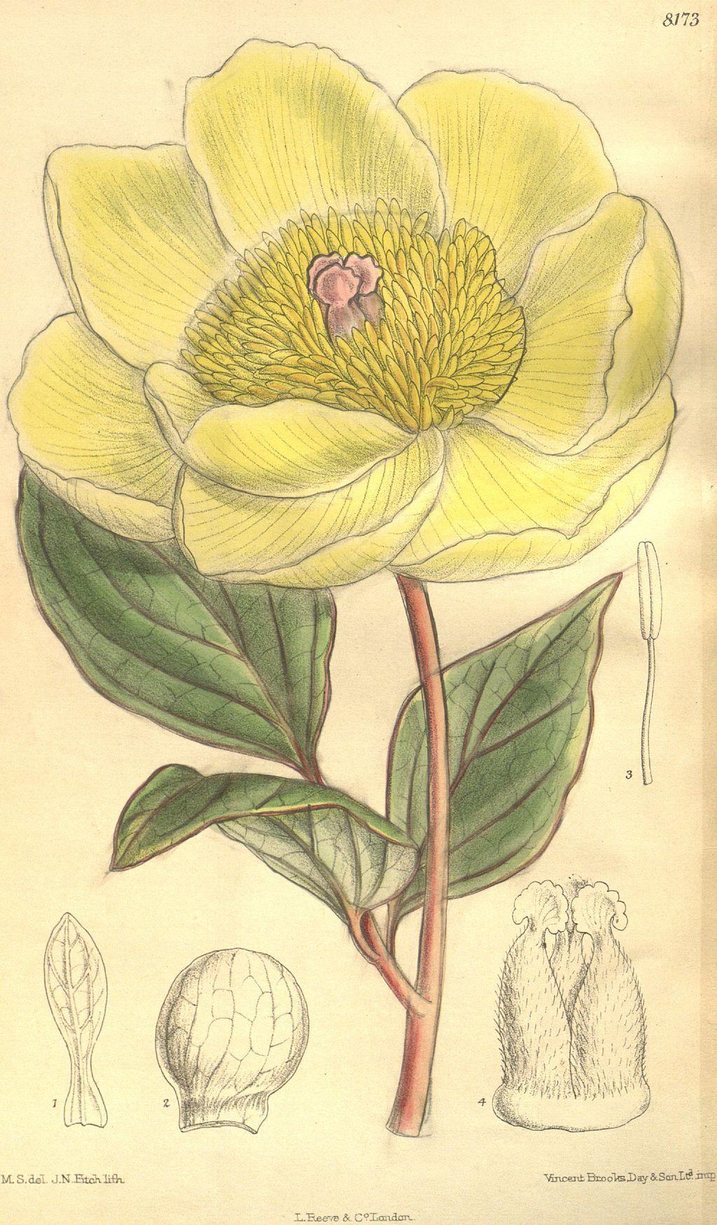 Paeonia daurica subsp. mlokosewitschii Bot. Mag. 134. 8173. 1908