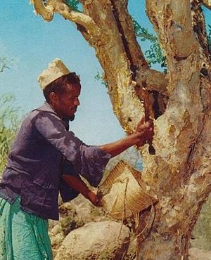 English: Somali man collecting incense