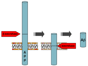 Depiction of amyloid precursor protein process...