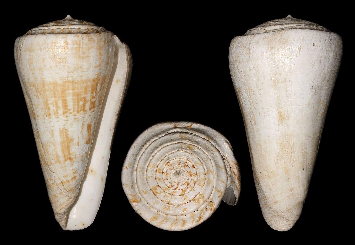 Conus Pulcher Wikipedia