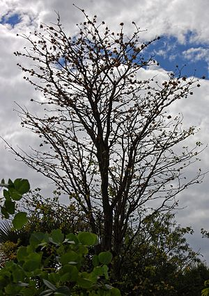 English: Erythrina variegata defoliated tree, ...
