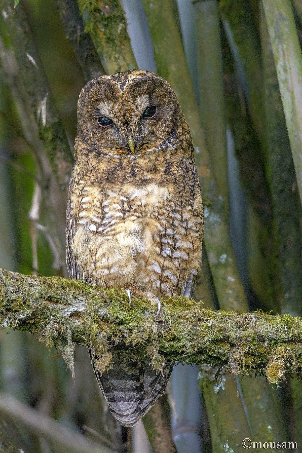 Himalayan owl  Wikipedia