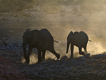 African Elephant in Okaukuejo, Etosha, Namibia...