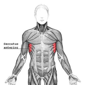 English: Serratus anterior muscle Svenska: Ser...