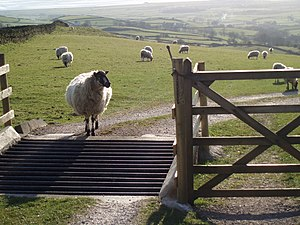 Sheep in front of a cattle grid – looking over...