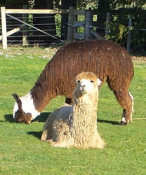 Two young male Suri alpacas