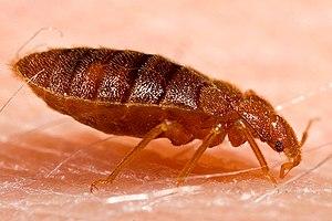 Adult bed bug, Cimex lectularius