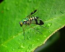 Dolichopodidae  Wikipedia