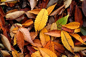 English: Autumn fallen leaves of Zelkova serra...