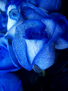 Blue rose-artificially coloured