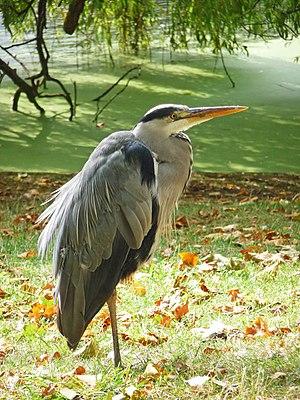 English: Grey Heron (Ardea cinerea) I've never...