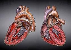Herz-Heart.jpg