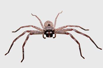 Huntsman spider grey bg03